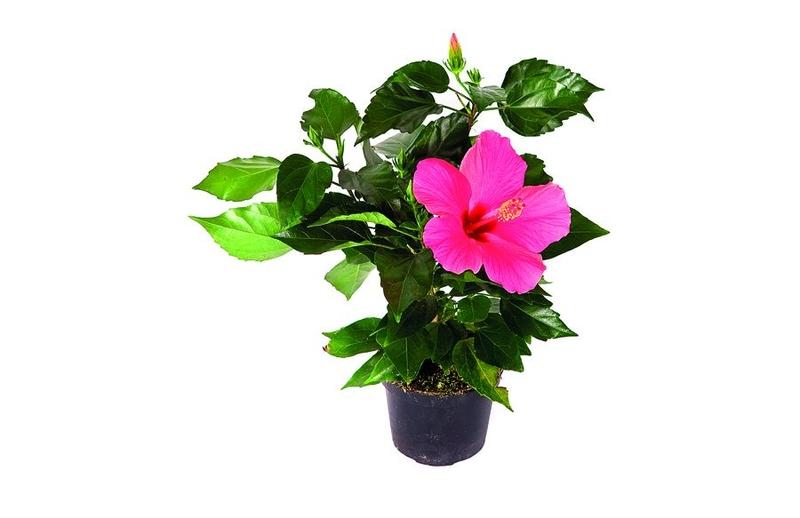 Ibišek, čínská růže (Hibiscus rosa – chinensis)