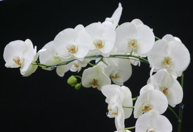 Můrovec (Phalaenopsis) – pěstování orchideí