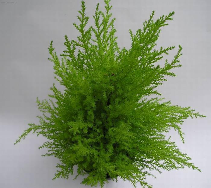 Pokojový cypřiš (Cupressus macrocarpa) – pěstování
