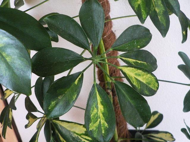 Šeflera (Schefflera) – pěstování