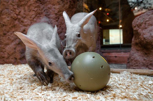 Hrabáči kapští Kvída a její dcera Nyota si pochutnávají na červech ukrytých v krmném míči. Foto Petr Hamerník, Zoo Praha