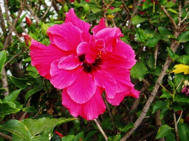Čínská růže - Ibišek