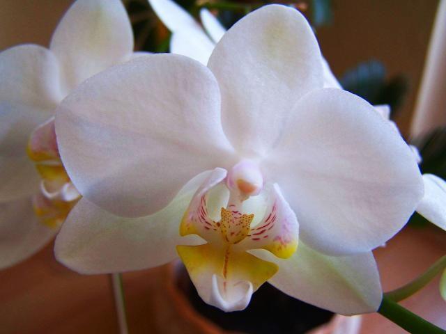 Pěstování orchideí - Můrovec