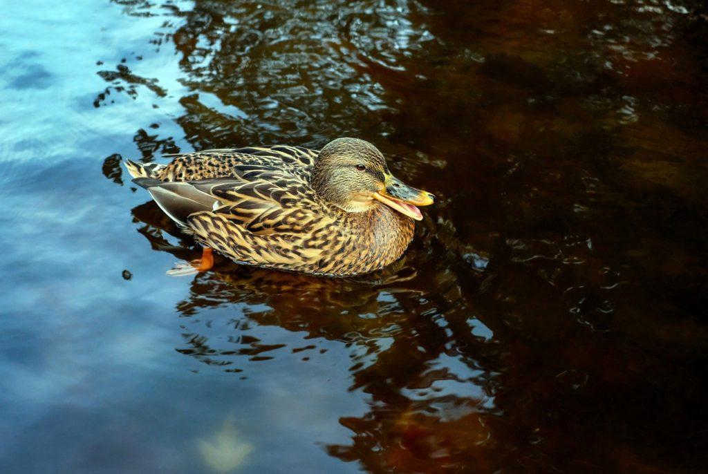 duck-1857353_1280