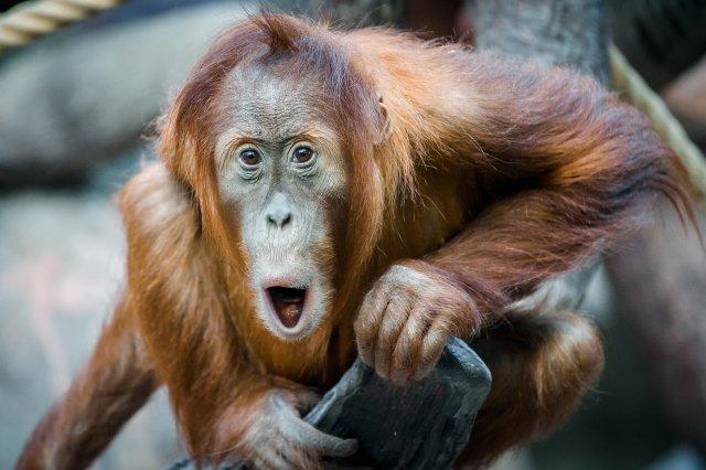 Orangutaní samička Diri jako by už vyhlížela oslavu svých narozenin. Foto Petr Hamerník, Zoo Praha